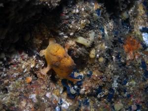 大岩のベニカエルアンコウ