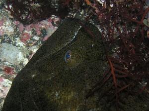 巨大ヒラメの顔(メーター級)
