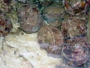 でかい夜光貝の群れ