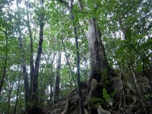 オキナワウラジロガシの古大木