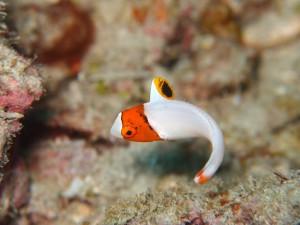 イロブダイ幼魚(なんとか撮れました)